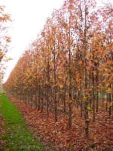 Liquidambar X Trees