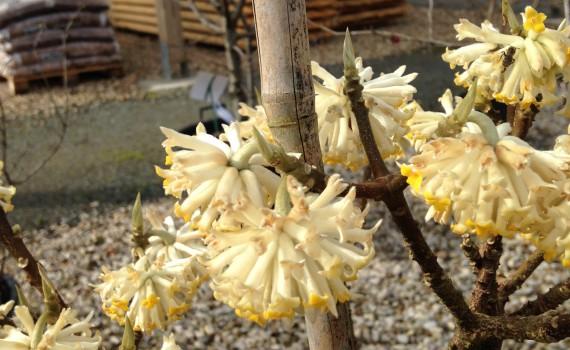 Edgeworthia chrysantha_0038