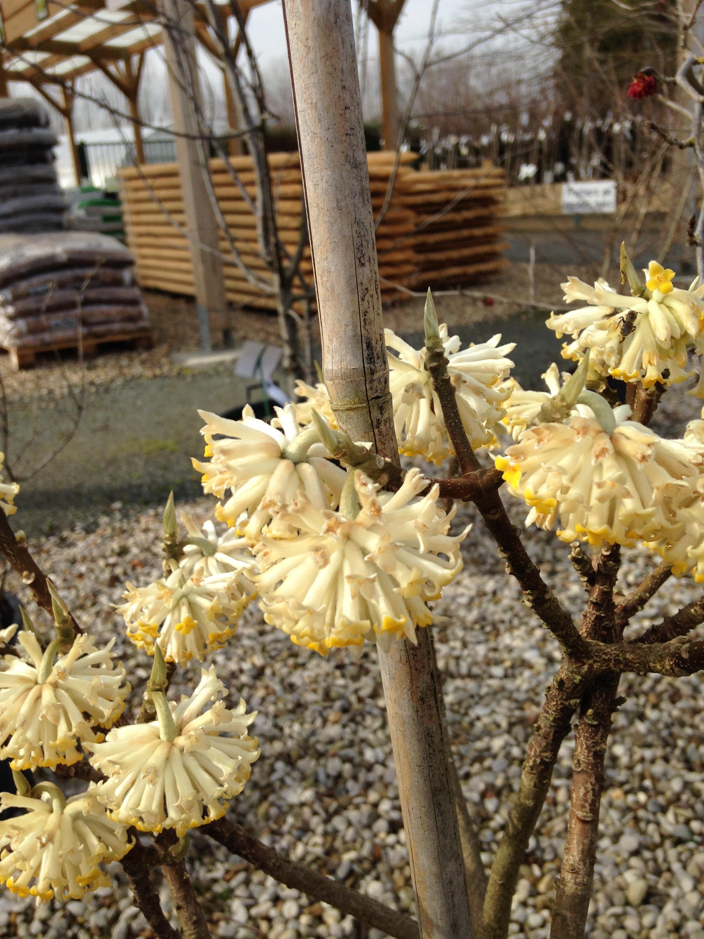 edgeworthia chrysantha p pini res imbert. Black Bedroom Furniture Sets. Home Design Ideas