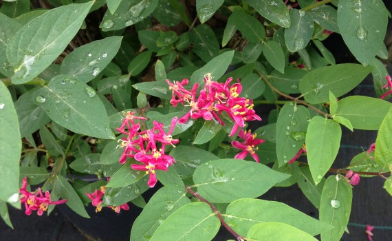 Lonicera tatarica Hack's red