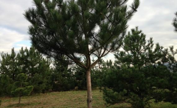 Pinus nigra austraica