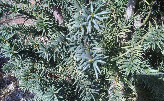 taxus baccata strait hedge