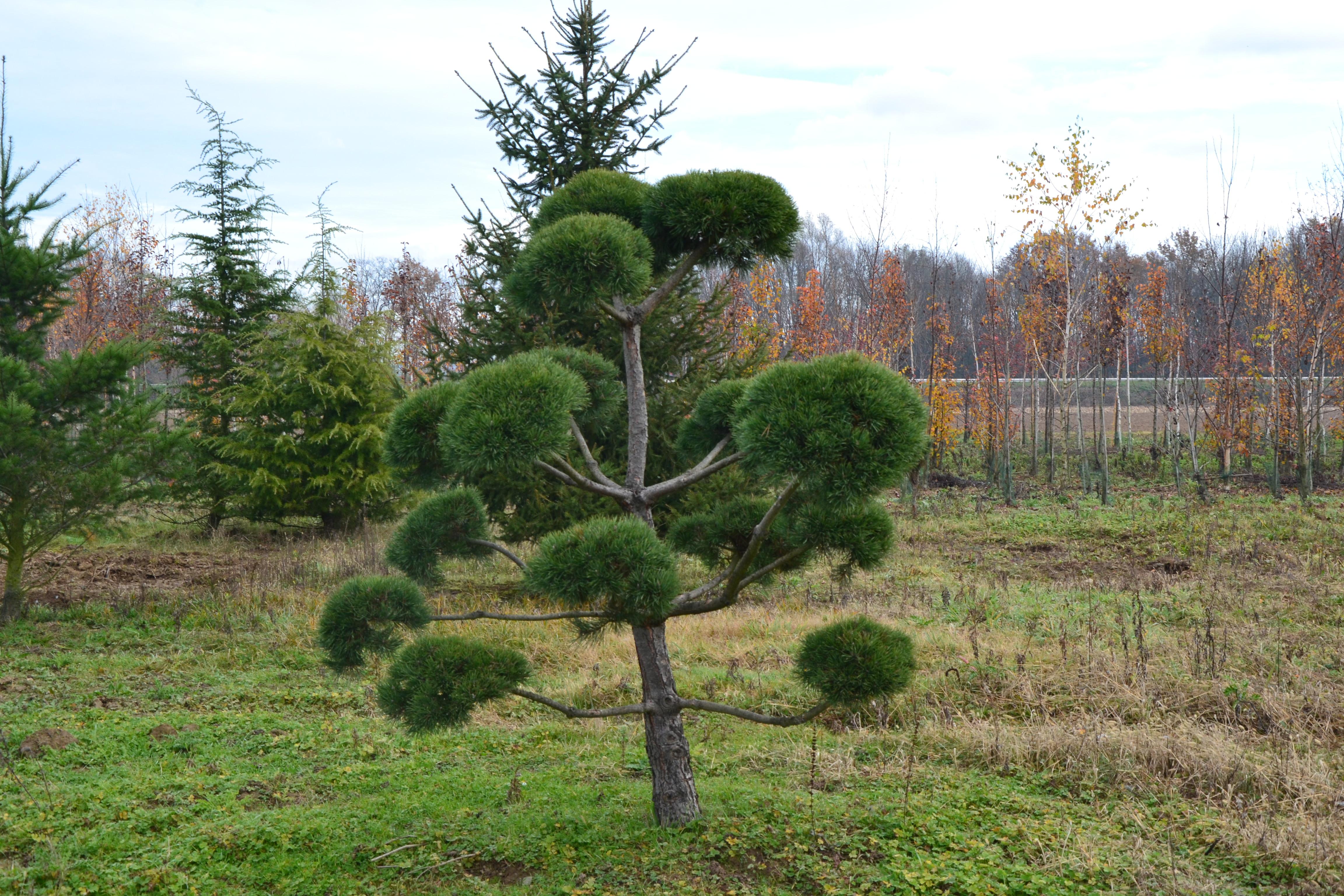 p pini res imbert sculpter ses arbres et arbustes avec l 39 art topiaire. Black Bedroom Furniture Sets. Home Design Ideas