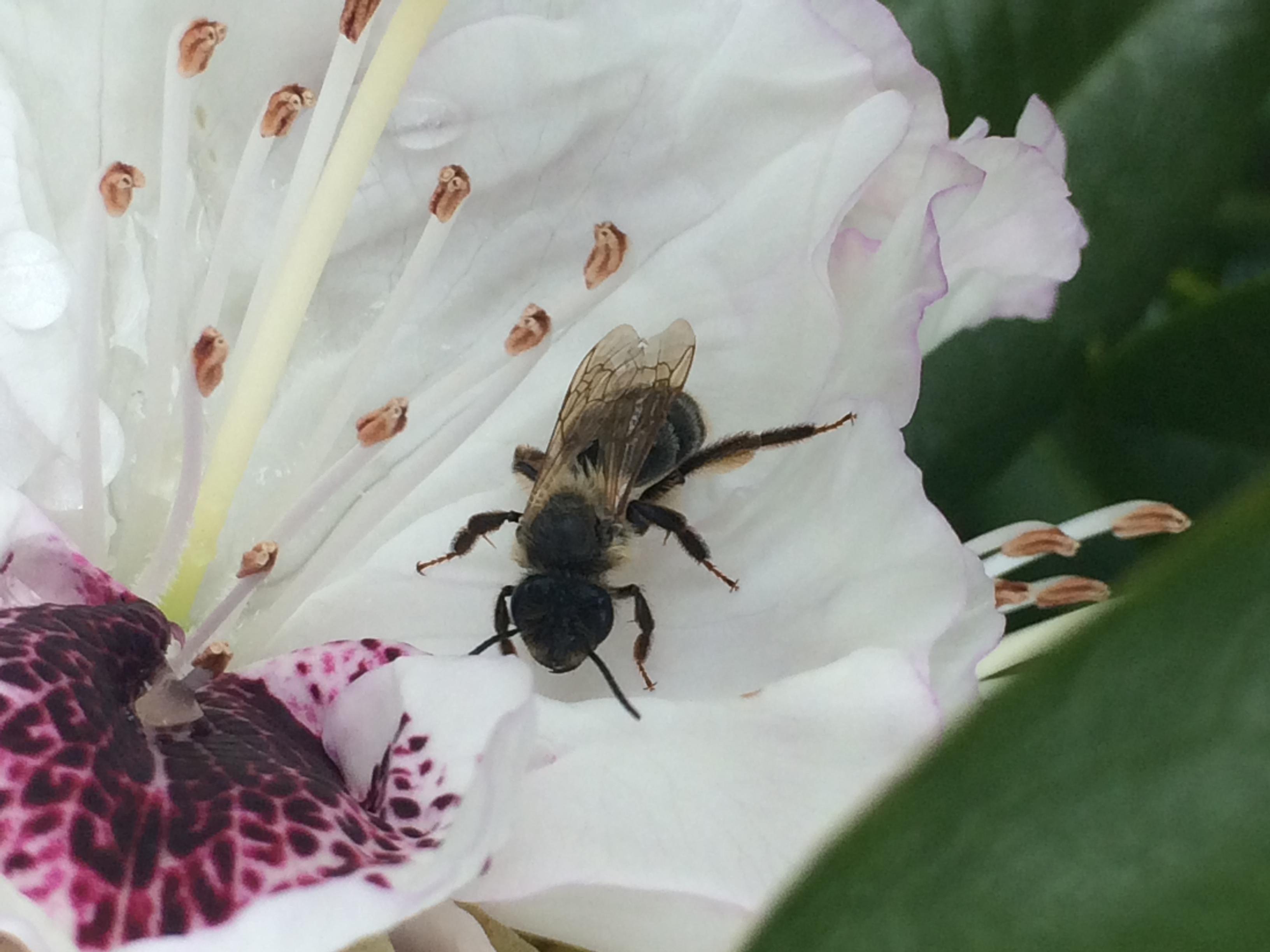 p pini res imbert plantes mellif res indispensables aux pollinisateurs. Black Bedroom Furniture Sets. Home Design Ideas