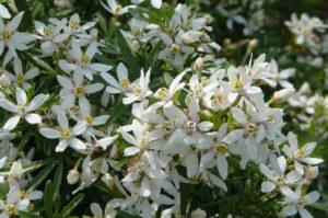 Choisya ternata 'White Dazzler®'