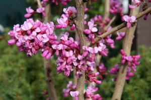 Cercis chinensis 'Avondale'