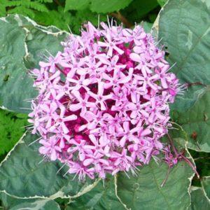 Clerodendrum bungei 'Pink Diamond'