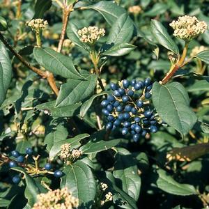 Viburnum x globosum 'Jermyns globe'