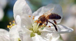 abeilles-butineuses-pepinieres-imbert