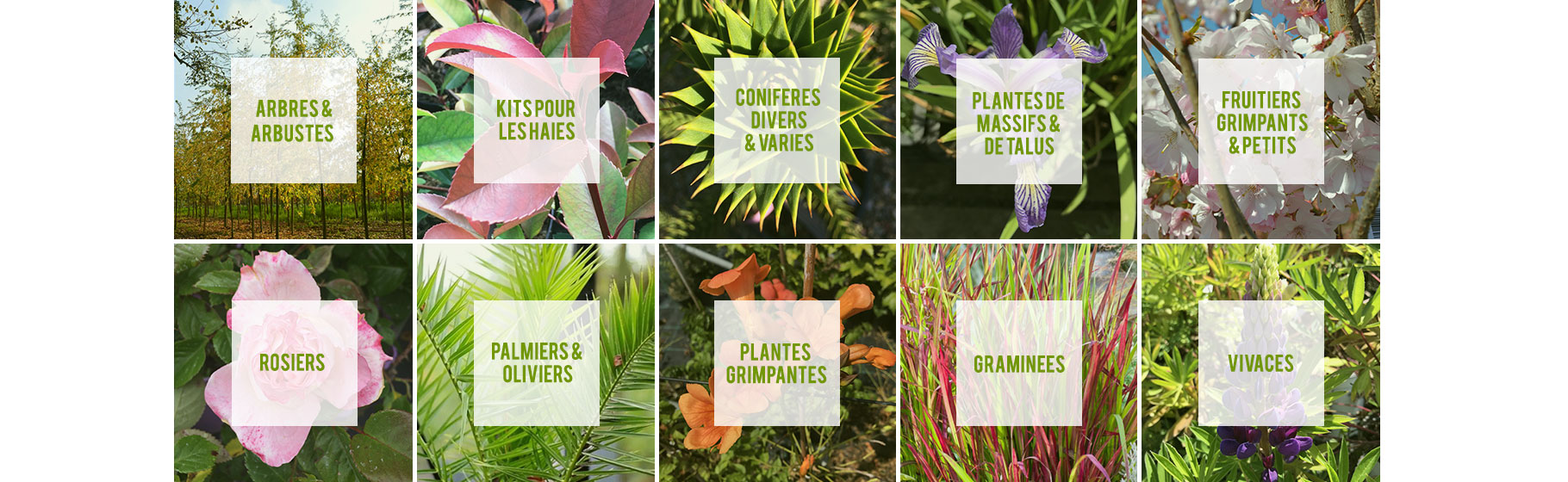 arbres&arbustes, haie, conifères, massif, fruitier, rosier, palmiers, oliviers, grimpantes, graminiees, vivaces-vente directe