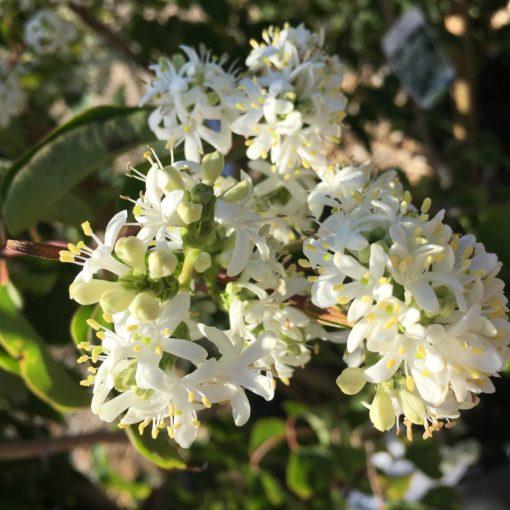 Hepatcodium Jasminoïdes en fleurs