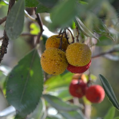 plantes-mediterranenne-lyon-pepinieres-imbert-rey-cholat-vegetaux