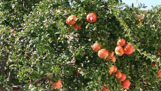 chataignier-grenadier-fruitier-lyon-lyon-pepinieres-imbert-rey-cholat-vegetaux